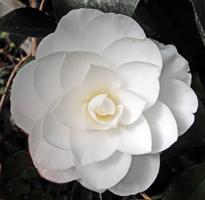 camellia02_sized