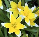 tulip_dasystemon_tarda_sized